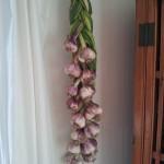 First braid of garlic